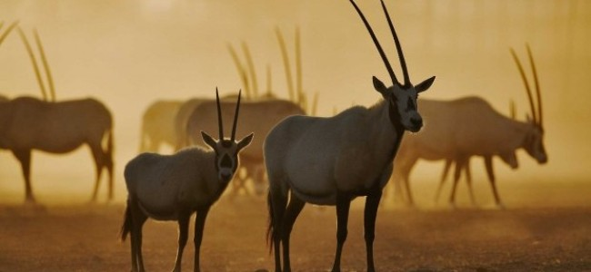 Conserving Beauty: The Majestic Arabian Oryx