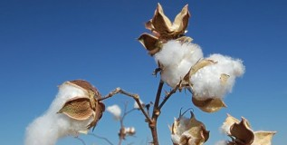 It's 'Summertime' and In Jumeirah 'The Cotton Is High'