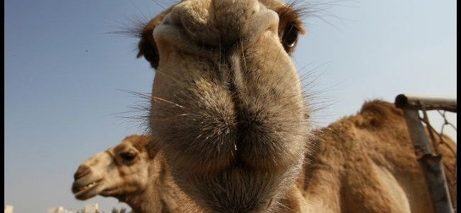 Camel Milk Woes Rising on MERs Link