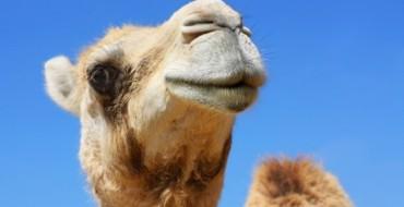 Desert Elixir: The Miraculous Powers of Camel Milk
