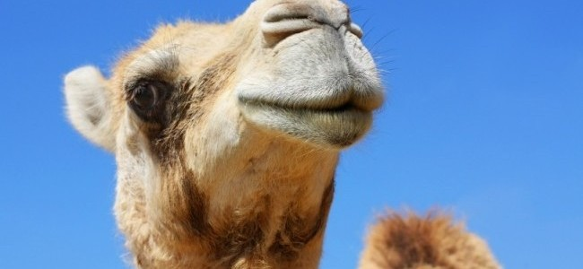 Desert Elixir: The Miraculous Powers of Camel Milk