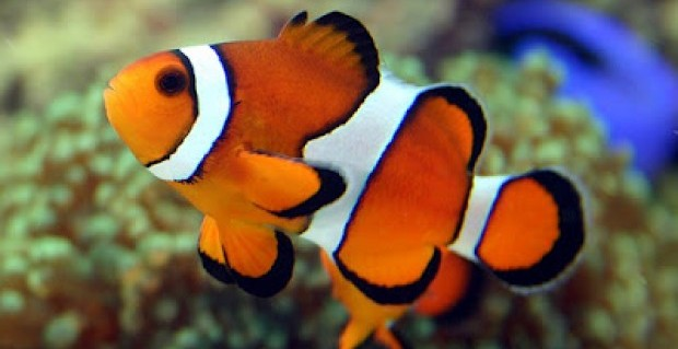 Finding nemo in the kingdom red sea wonder for Clown fish size